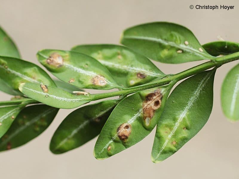 Monarthropalpus buxi