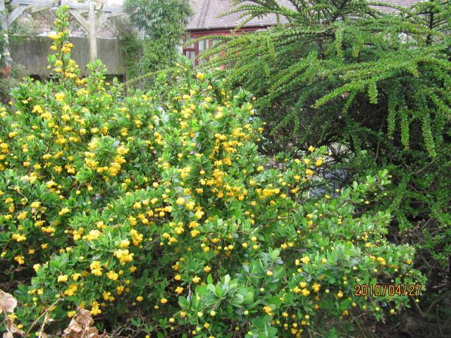 Buchsblättrige Berberitze als Alternative zum Buchsbaum