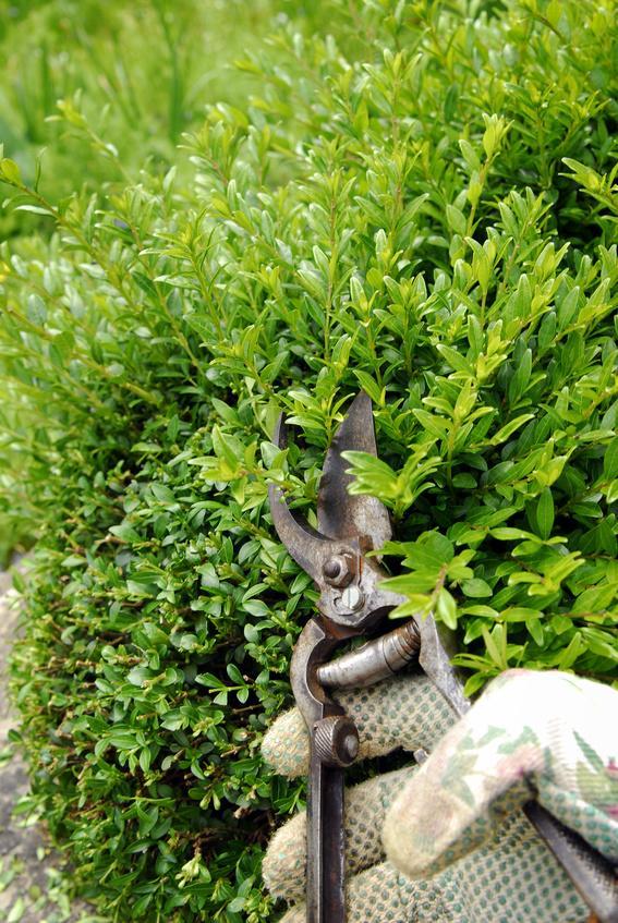 Heckenkirsche als Alternative zum Buchsbaum