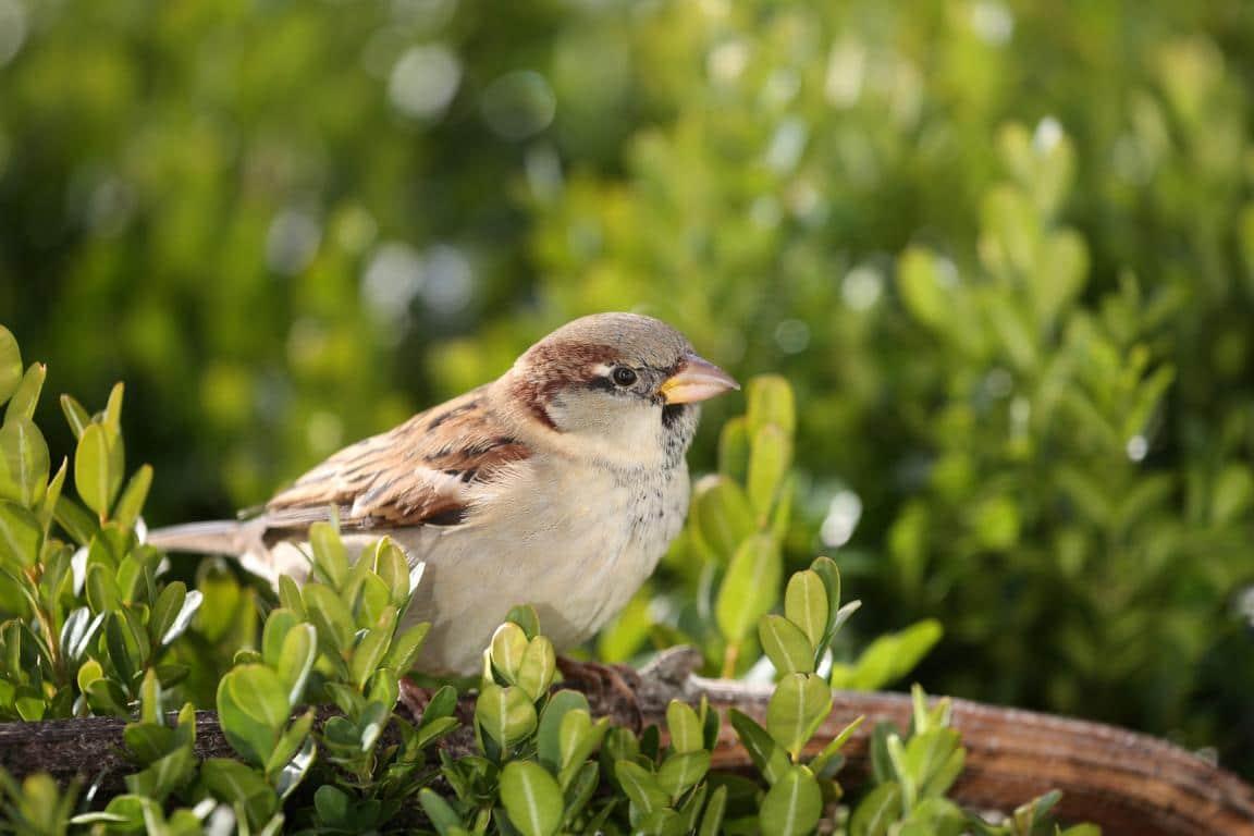 Spatzen fressen vermehrt die Buchsbaumzünsler Raupen