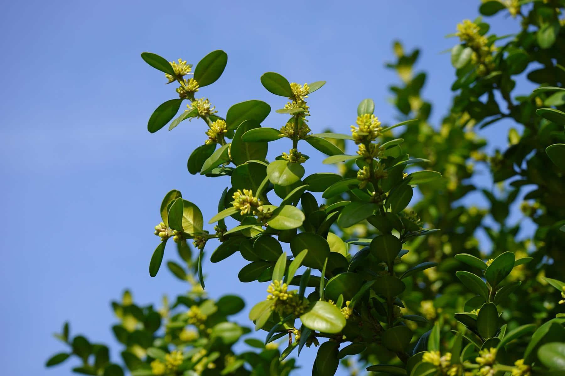gelbliche Blüten des Buchsbaums
