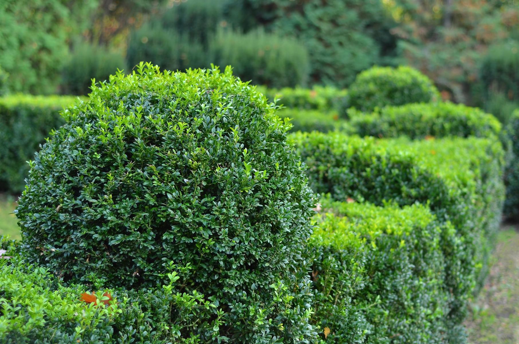 Gewöhnlicher Buchsbaum - Buxus sempervirens