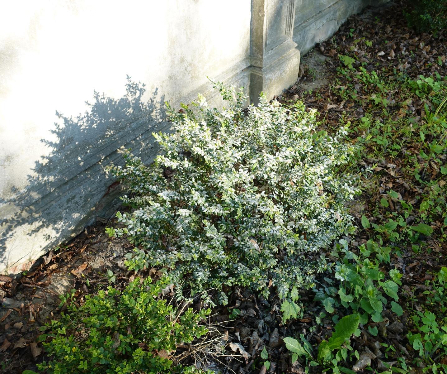 Algenkalk ist ein umstrittenes Mittel gegen den Buchsbaumzünsler und zur Stärkung des Buchsbaums