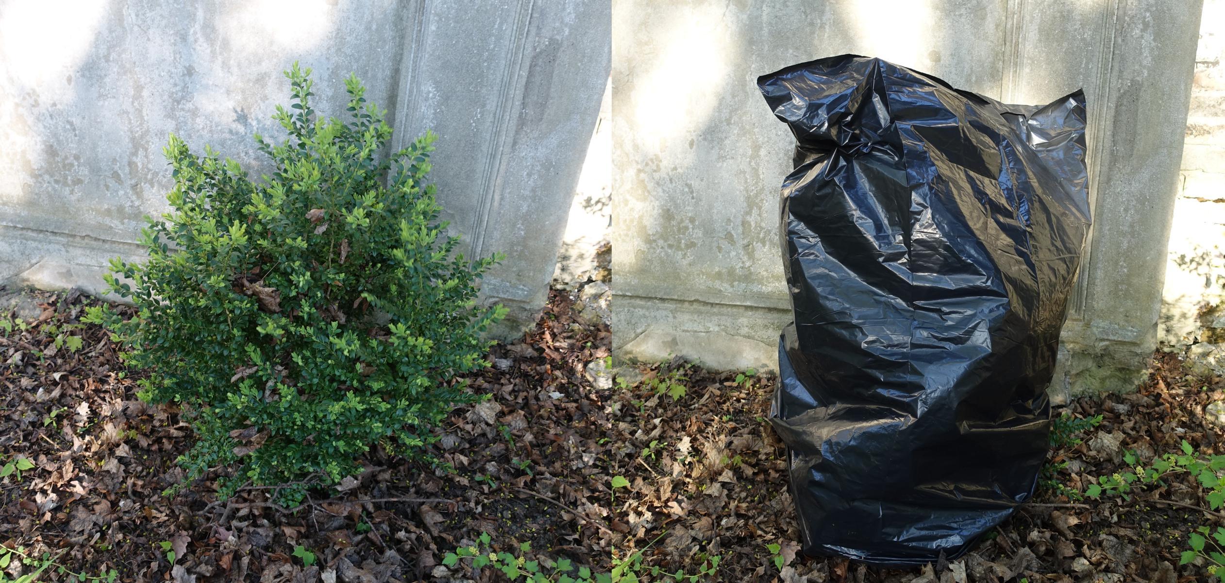 Müllsack über Buchsbaum gegen den Buchsbaumzünsler