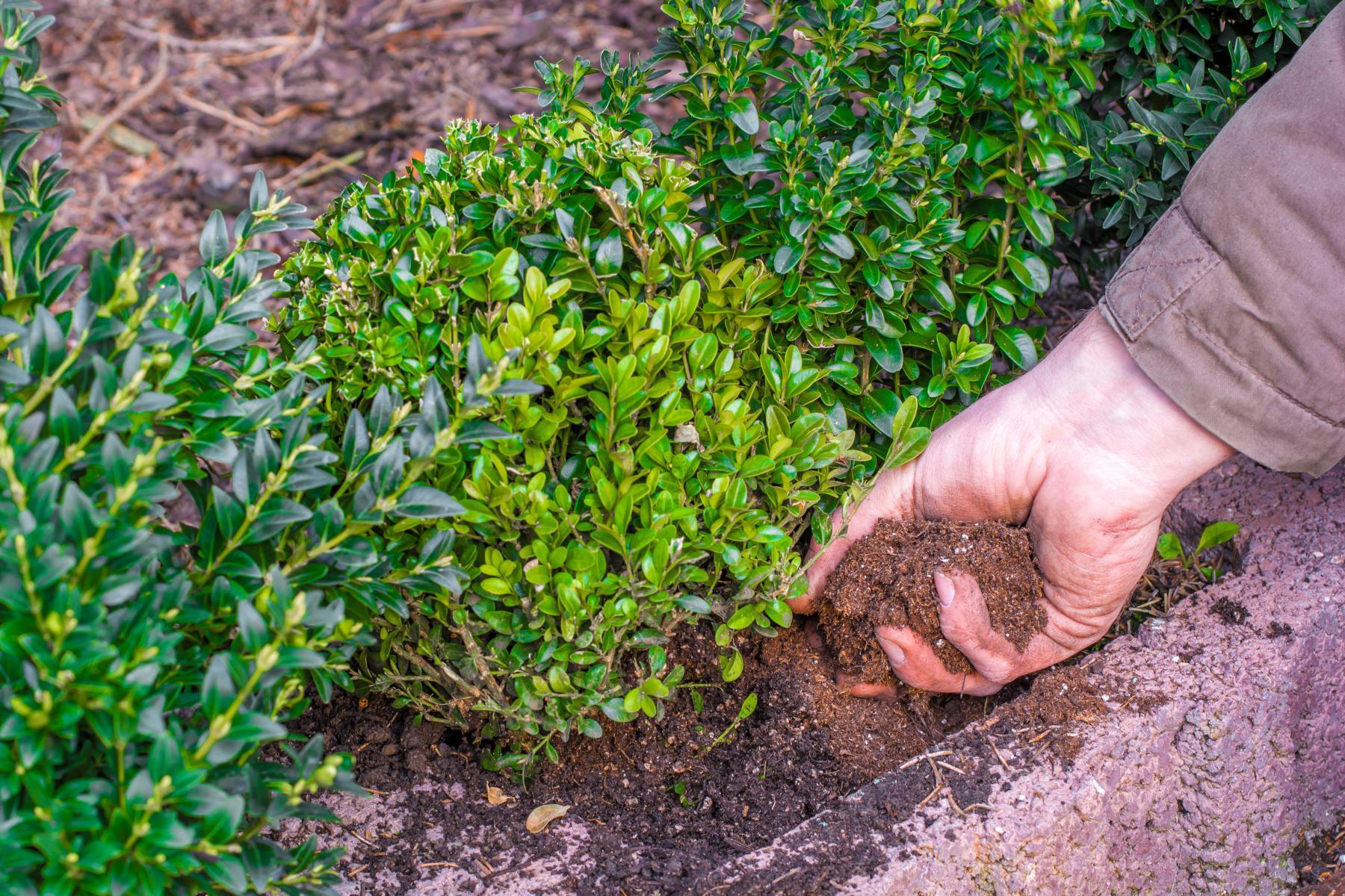 Anfpflanzen eines Buchsbaums in einem Pflanzstein