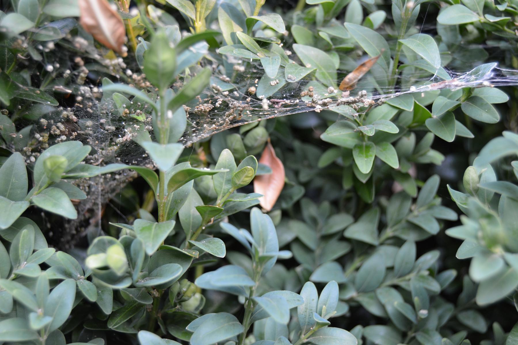 Buchsbaumzünsler Gespinste und Kotkrümel im Buchsbaum erkennen