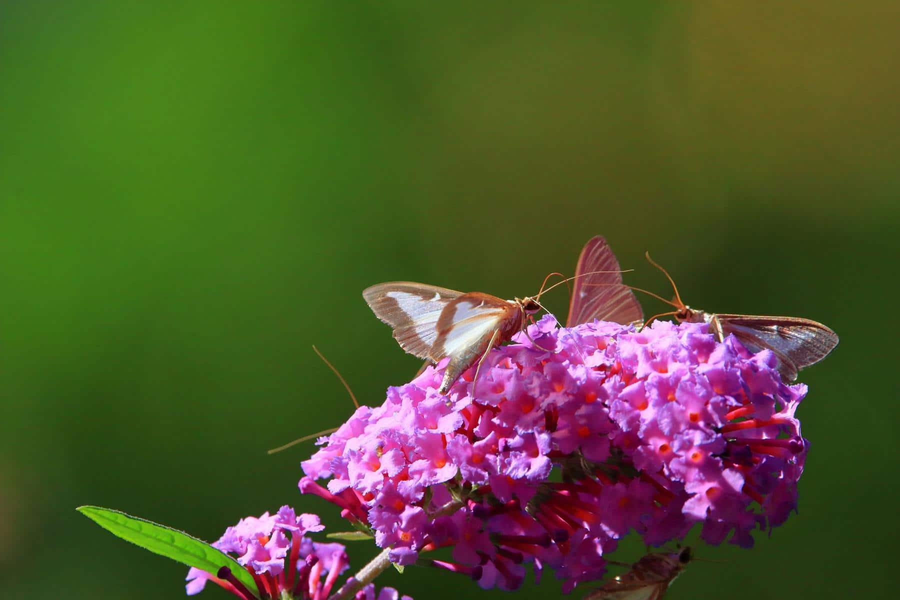 Schmetterlingsflieder zieht Buchsbaumzünslerfalter an